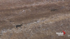 City of Calgary gives tips on coexisting with coyotes after sighting at dog park