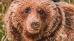 Hunter that killed Bear 148 in B.C. knew she was wearing a tracking collar