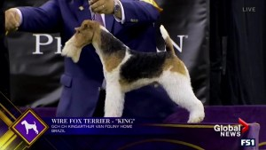 Check out the top dog at the Westminster Dog Show