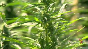 CBD promising but more research needed: Sask. drug expert