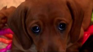 The science behind puppy dog eyes