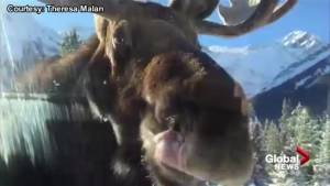 Banff resident catches car licking moose on camera (01:26)