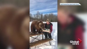 Discovery Wildlife Park celebrates Berkley the bear's birthday with ice cream cake