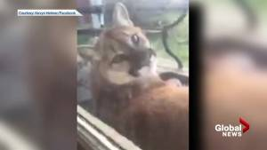 Large adult cougar captured on camera relaxing outside B.C. home