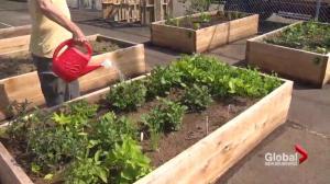 Moncton food bank community garden in need of volunteers