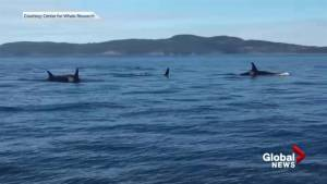 J Pod orcas seen swimming in Puget Sound
