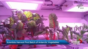 Scientists harvest first batch of Antarctic vegetables