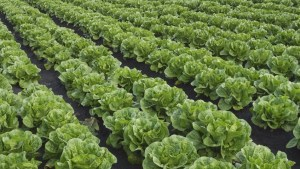 Should British Columbians eat romaine lettuce?