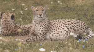 2-year-old boy falls into Cheetah exhibit at Cleveland Zoo after being dangled over railing