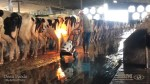Disturbing undercover video shows widespread abuse on Florida dairy farm