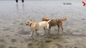 Dogs run and play on beach after Hurricane Irma causes water to temporarily recede in Tampa Bay