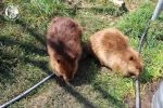 Injured baby beaver makes friend at Alberta Institute for Wildlife Conservation