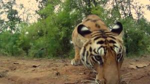 'On The Trail of Big Cats'