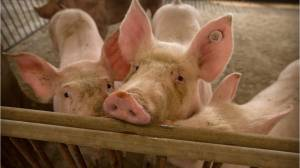 China is killing many of its pigs because of a gruesome and incurable fever