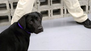 CIA fires bomb sniffer pup-in-training for showing no interest in sniffing bombs