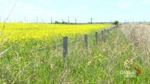 Tension with China grows with blow to Canadian canola farmers