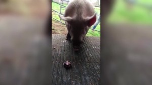 Theodore the pig is now checking out his digs