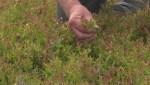 Over 50 per cent of Nova Scotia blueberry crops lost to frost