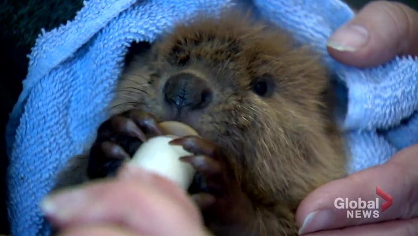 International Beaver Day - April 7, 2020 | Happy Days 365 | 480x848