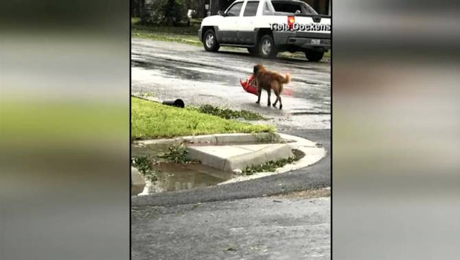 Dog Carrying Dog Food In Texas