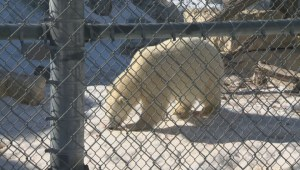 Juno the polar bear joins the Assiniboine Park Zoo