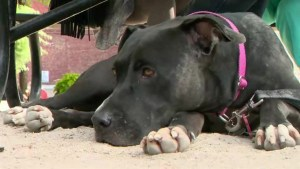 Montreal mayor maintains pit bull bylaw is fair