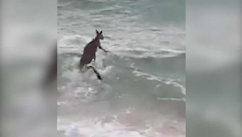 Victoria police rescue 'swimming' kangaroo