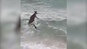 Australian police rescue drowning kangaroo