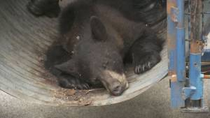 Black bear captured in East Vancouver (01:36)