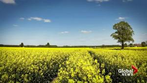China stops all Canadian canola imports