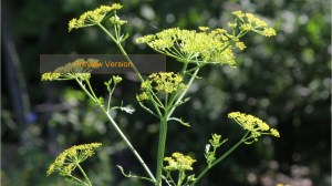 Wild parsnip: Everything you need to know about the invasive plant that causes severe burns