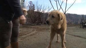 Dog reunites with family in California after protecting ruins of home destroyed by wildfires