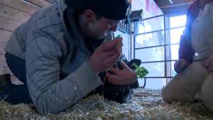 #OurYYC Apprentice: There's plenty of work to be done on a cattle farm (01:20)