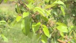 Nova Scotia vineyards facing potentially devastating crop loss due to frost