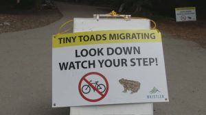 Raw: Whistler roads closed as thousands of endangered toads make annual migration