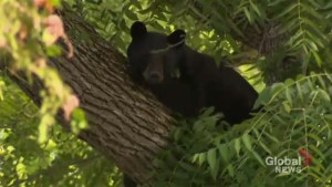 Bear rescued after wandering in Port Perry