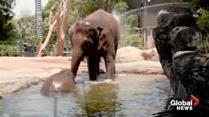 Animals cool off at Sydney Zoo with the help of pools and frozen treats