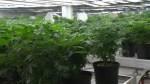 Deadly fire raises safety questions about marijuana grow-ops