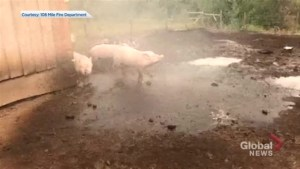 Happy pigs cool off in fire hose