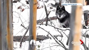 Second wolf snared in Banff since December