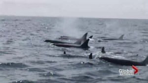 Sudden population boom for orca whales