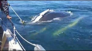Campbell River whale watchers have close encounter with humpback