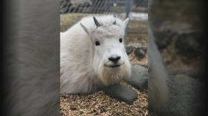 Gustav the Goat killed by lightning strike in Kamloops