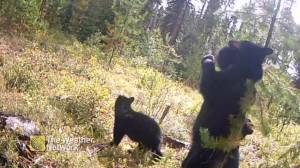 Bears caught on camera in B.C. using trees to scratch an itch (00:30)