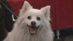 Adopt a Pet: Moe the American Eskimo Dog
