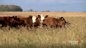 University of Saskatchewan is looking at 'burping' in beef cattle to study methane emissions