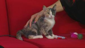 Saskatoon SPCA needs home for abandoned kitten Annabelle