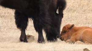 Baby bison born at Wanuskewin Heritage Park (01:14)