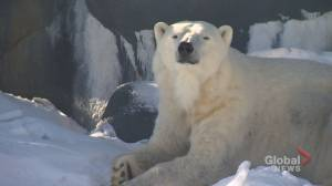 Polar bears coming to Calgary Zoo thanks to $15.5M Canadian Wilds expansion (02:01)