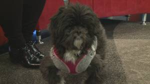 Adopt a pet: Tina the Shih Tzu